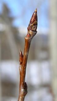 topoľ osikový