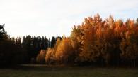 osikový hájik z koreňovej výmladnosti