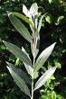 vŕba biela - vetvička s listami