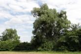 vŕba biela (Hlohovecký rybník - Južná Morava)