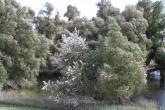 vŕba biela, ako súčasť lužných lesov pri Dunaji