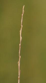 vŕba biela - ročný výhonok (letorast)