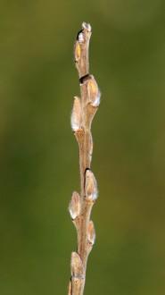 vŕba popolavá - kvetné púčiky