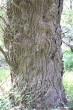 vŕba biela - borka