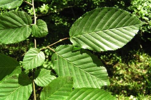 hrab obyčajný - vetvička s listami (listy sú uložené plošne - v jednej rovine)