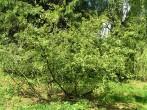 jelša zelená