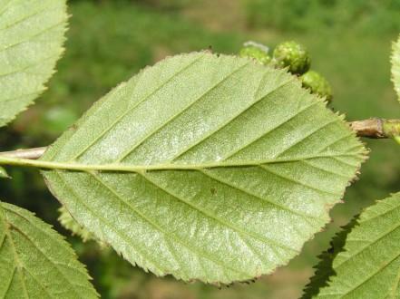 jelša zelená - spodná strana