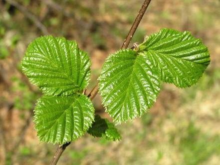 jelša zelená - vetvička s listami