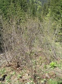 jelša zelená - Malužinská dolina (splavená z hornej hranice lesa na úpätie lavínového žľabu)