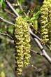 jelša zelená - samčie a samičie jahňady v čase kvitnutia