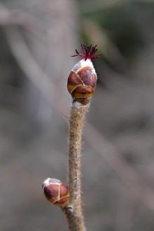 lieska obyčajna - samičí kvet v tvare vegetačného púčika na vrchole s karmínovočervenými bliznami