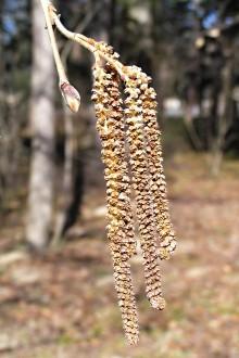 lieska turecká - samčie jahňady na jar v čase kvitnutia