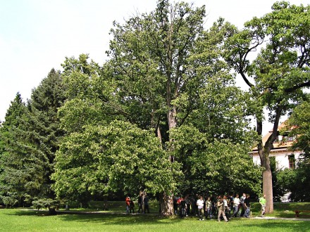 lieska turecká - ako súčasť parkovej výsadby v Zámockom parku v Topoľčiankach