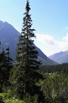 smrek obyčajný - horná hranica lesa (Kôprová dolina)