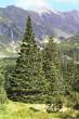 smrek obyčajný - horná hranica lesa (Kôprová dolina cca 1500 m n. m.)