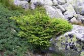 smrek obyčajný - nad hornou hranicou lesa v pásme kosodreviny (Vysoké Tatry)